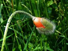 It's just a simple poppy, but in this unusual state, it looks quite extraterrestrial.
