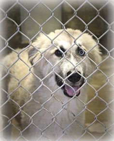 SAFE. 7-17-14: THIS GUY IS READY TO GO HOME W/YOU TODAY! Pyrenees mix male less than a year old. SO HANDSOME! He's in Kennel A8. Only $51 to adopt and save him from this kill shelter. Please save a shelter pet's life and adopt today! Odessa TX animal control. https://www.facebook.com/speakingupforthosewhocant/photos/a.573572332667009.1073741829.248355401855372/810171055673801/?type=1&theater