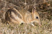 Bandicoots are a group of about 20 species of small to medium-sized, terrestrial marsupial omnivores in the order Peramelemorphia. They are endemic to Australia.