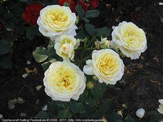 Rosa 'Stockholm'