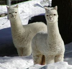 Baby llamas!!!! Love Love Love Love! I think i just died a little inside!!!