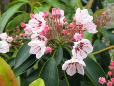 Kalmia latifolia 'Carousel' - Lepelboom   De Tuinen van Appeltern Kalmia Latifolia, Carousel, Flowers, Carousels