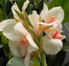 Dwarf Canna Lily Exotic Blushing Butterfly