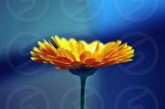 Caléndula flower