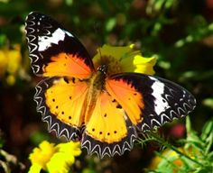 The Leopard Lacewing butterfly is a species of heliconiine butterfly found from India to southern China (southern Yunnan), and Indochina.