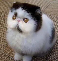Exotic shorthaired kitty cat!! Looks like a cross between a cat and an owl.