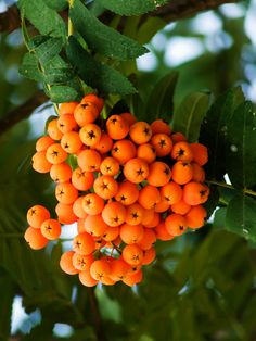 berries from the mountain ash tree - look at the tiny stars at the bottom of each berry :)