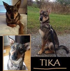 Meet Tika, a Petfinder adoptable Shepherd Dog   Cambridge, ON   TIKA IS AVAILABLE FOR ADOPTION!!!!Tika is a 7 month old petite shepherd mix (about 35lbs)Meet out...