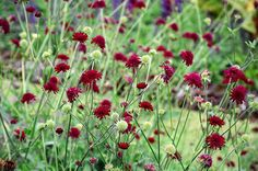 Red scabious | The crimson pincushion flowers of Knautia macedonica hover in the air and attract bees and butterflies. Tips Likes neutral to alkaline soil in sun. Deadhead to keep it flowering. Plant with Dianthus carthusianorum and Sedum telephium 'Xenox'. Height and spread 45cm x 40cm.