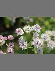 Astrantia Major-Stjerneskærm  til skygge bedet, men kan også stå solrigt hvis jorden forbliver fugtig. Planten skal have veldrænet, rimelig næringsrig og humusrig jord og regulær vanding i foråret og sommeren. Blomstringstiden forlænges hvis de visne blomster fjernes. Blomsterne findes i farverne creme, karminrød, sart rosa. Planten passer godt til staudebedet eller som kantplante.90 cm