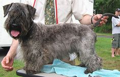 ♥DS♥ 95 Celsky Terrier