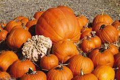 Pumpkin Picking Farms in New Jersey