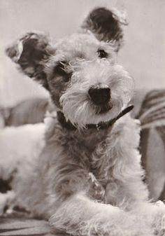 German postcard, undated, featuring a Wire Fox Terrier puppy.