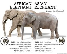 thomson safaris africa elephant difference You Won't Forget: The Difference between African and Asian Elephants