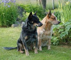 The Australian Cattle Dog was bred when Australian cattle ranchers in the 1800s needed a herding dog to keep up on a cattle drives. They bred Blue Merle Collies and other European dogs with Australian Dingos to create an intelligent dog that could handle the harsh Australian outback. They have few health issues and require little grooming, but do need regular baths due to their love of the outdoors. The Australian Cattle Dog does great in an active, older family. Photo from dogbreedworld.com