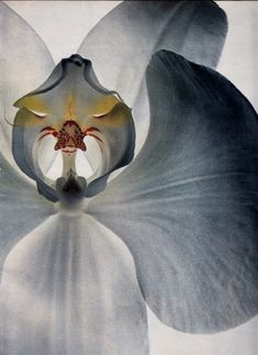 """Specialists in Sex: Orchids"""" by Irving Penn for US Vogue, December 1970 Visual Portal – Page 2 – recollectvintage Irving Penn Flowers, Still Life Photography, Art Photography, Flower Photography, Macro Flower, Phalaenopsis Orchid, All Nature, Tumblr, Color Shapes"""