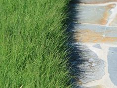 'UC Verde' Buffalo Grass is a tough and sustainable lawn substitute. This drought tolerant grass requires very little water, low maintenance, and low to no mowing. Drought Tolerant Grass, Tall Fescue Grass, Sod Cutter, Coachella Valley, Garden Landscaping, Sustainability, Buffalo, Lawn