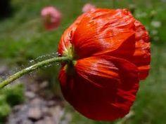 Iceland Poppy - Bing Images