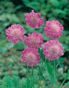 Fleur rose. Pink Diamonds, Pink Plant, Michel, Flower Decorations, Garden Ideas, Plants, Beautiful, Gardens, Pink Blossom