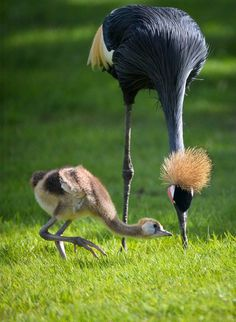 African Black Crowned Crane (Balearica pavonina) and her chick. This species inhabits dry savannah in Africa south of the Sahara. (Chester Zoo, UK)