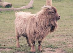Timmy, Billy goat at Lazydaysbnb