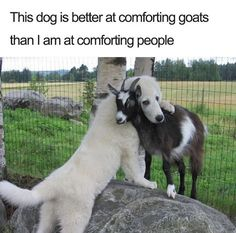 cute dog comforting goat