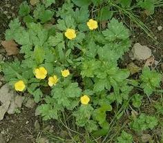 Find This Pin And More On Weeds Wildflowers Creeping With Ercup Yellow Flowers