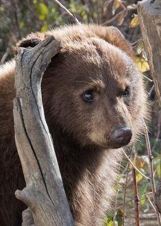 One of the prettiest bears I've ever seen : bears