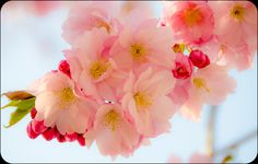 Cherry blossoms......Photo by Hector Melo A.