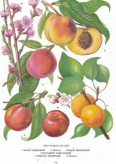 retroscan, botanical print, free download, peaches
