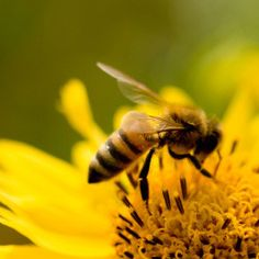 honey bee on a flower in Denver, Colorado | Honey bee removal should be done by trained professionals with proper ...
