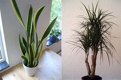 mother in law tongue plan and dracena