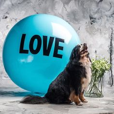 Grizzly!! We paired this big baby with a Big Love Ball in the colour turquoise... Named after a body of glacial water from Mt. Garibaldi, British Columbia. Grizzly, you true blue beauty you. Big Love Ball Canine Ambassador. Sweet as can be. Color: GARIBALDI Photo by @garlickphoto @mverchere #love #bigloveball #garibaldi #garibaldilake #garibaldiprovincialpark #bernesemountaindog #bernese #bernesedaily #berneseofinstagram #berneseoftheday #dog #doglove #dogsofinstagram