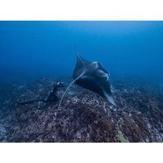 Can't get enough of this shot @mattdraperphotography and a large Manta ray | Byron Bay  #XcelDive photo: @scottwilsonimagery