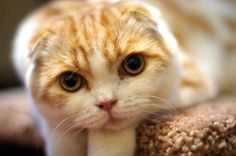 Cutest Scottish Fold ever!! Waffles the kitty cat