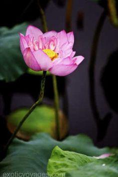 #Vietnam's #Lotus - Westlake #Hanoi exoticvoyages.com
