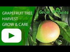 Grapefruit tree - Learn how to grow Grapefruit tree, plant information - climate, zone, uses, growth speed, water, light, planting & bloom