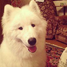 #North #puppy #cute #instadog #instapuppy #cat_dog #samoyed #happydog #самоед #white #blacknose #smile