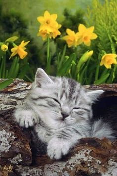Daffodils and kittens, spring has arrived