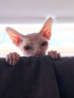 Our canadian sphynx. I Love Cats, Crazy Cats, Cute Cats, Funny Cats, Puppies And Kitties, Cats And Kittens, Cats Bus, Sphinx Cat, Mean Cat