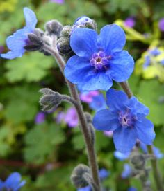 """Cynoglossum amabile 'Azul' Easy, fast and just the richest deep blue """"Chinese Forget-Me-Not"""" I've ever seen! To a nice 2.5-3' tall, you get a profusion of small true blue flowers on erect branching stems for months. Cut it back to the base before it goes to seed and it will bloom again, plus it self-sows readily for future bona fide blueness!"""