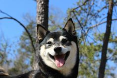 Meet DC Shiba Inu Rescue's newest family member, Oni! She is a 3 year old Black and Tan female Shiba Inu and will be adopted with her brother, Ryu.