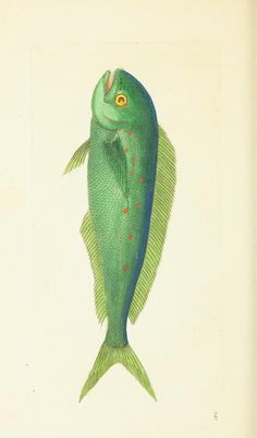 Green Spotted Coryphaena (Dolphin fish) - v.7 - The naturalist's miscellany, or Coloured figures of natural objects - Biodiversity Heritage Library