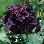 Rare Papaver Black Peony Black Beauty 50 Or 100 Heirloom ...