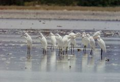 Chinese Egrets in Olango Wildlife Sanctuary, Philippines by Drakesketchit