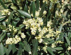 L'olivier bio, fleur de Bach par DEVA les émotions