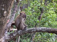 Baby #macaque #monkey in #Langkawi #Malaysia #Asia #travel
