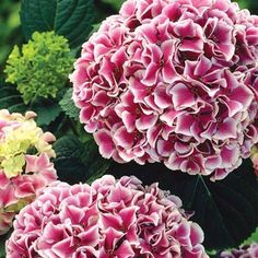 Harlequin Hydrangea!! Sun Exposure: Shade/Partial Shade/Full Sun Height/Habit: 3 - 5' Spread: 3 - 5' Spacing: 4 -6' Hardiness Zone: 5 - 9 with protection in zone 5. Flowering Date: Mid to late summer