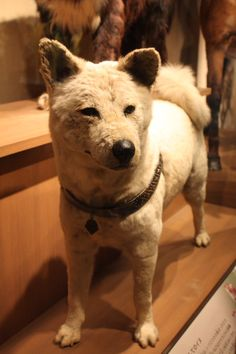 In 1924, Hidesaburō Ueno, a professor at the University of Tokyo, took in Hachikō, a golden brown Akita, as a pet. During his owner's life, Hachikō greeted him at the end of each day at the nearby Shibuya Station. The pair continued their daily routine until May 1925, when Professor Ueno did not return. The professor had suffered from a heart attack and died, never returning to the train station where Hachikō was waiting. Every day for the next nine years the dog waited at Shibuya station.