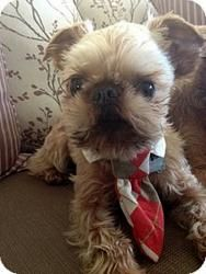 FOSTER HOMES NEEDED IN THE SOUTHWEST!: Brussels Griffon, Dog; Chandler, AZ